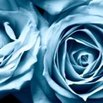 630052__widescreen-roses-blue-background-wallpapers_p